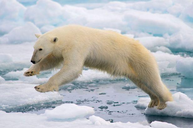 1024px-polar_bear_adf