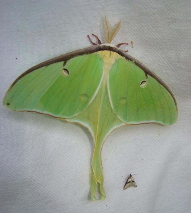 7758_e28093_actias_luna_e28093_luna_moth_16265177215